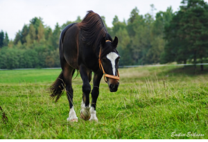 Emilia Eriksson häst